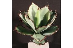 Pianta Grassa In Gomma Calancola Loniflora 25 Cm
