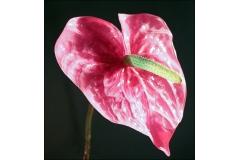 Anturium A Gambo Lungo Da 65 Cm Fiore 15 Cm