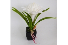 Billbergia Bianca In Lattice Con Vaso Nero Di Coccio 28cm
