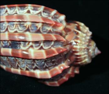 Vera Conchiglia Harpa Major Colore Naturale