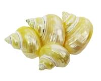 Conchiglie Lumaca Tubo Chrysostomus Pz 16
