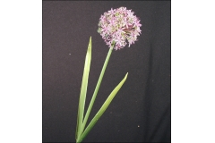 Allium Modellabile 55 Cm