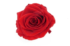 Rosa Stabilizzata Premium Pz 4